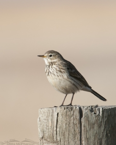 American Pipit in early morning light