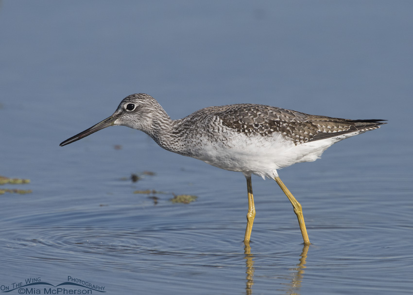 Greater Yellowlegs eating a small invertebrate