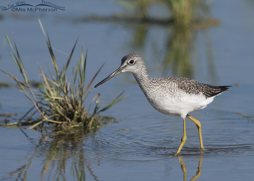 Greater Yellowlegs at Farmington Bay WMA