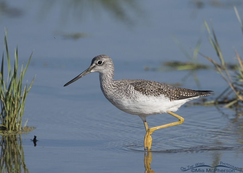 A Greater Yellowlegs hurrying by