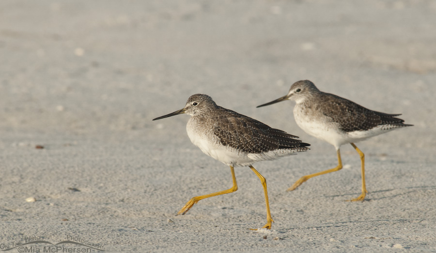 Pair of Greater Yellowlegs running across the sand