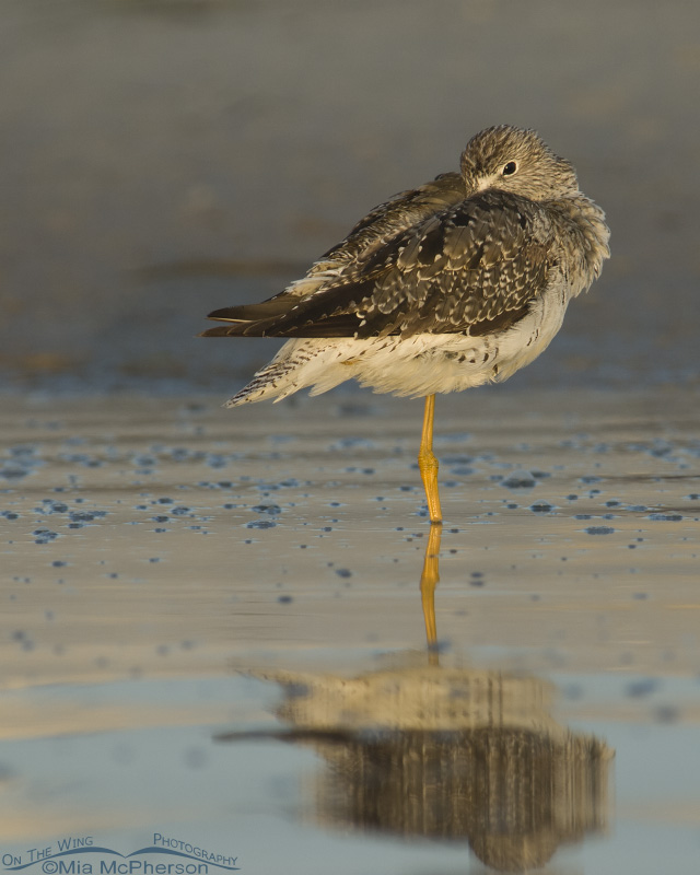 Greater Yellowlegs resting in a lagoon