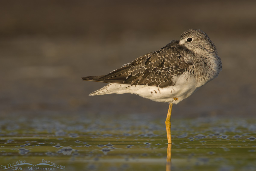 Greater Yellowlegs with one eye on me