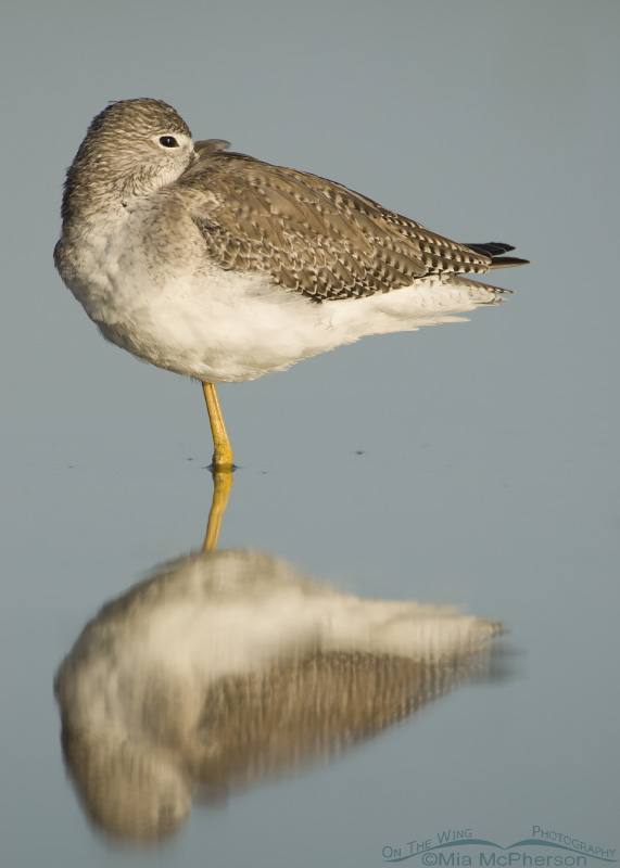 A Greater Yellowlegs resting in a still lagoon
