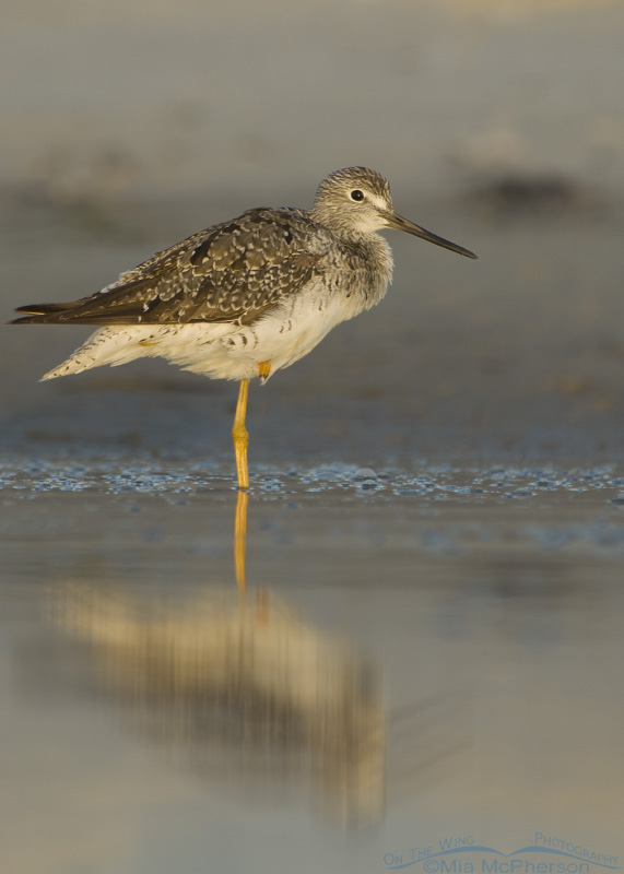Restful Greater Yellowlegs