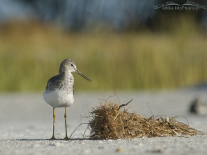 Greater Yellowlegs near a clump of dried vegetation