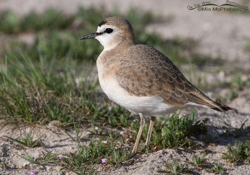 A female Mountain Plover in Davis County