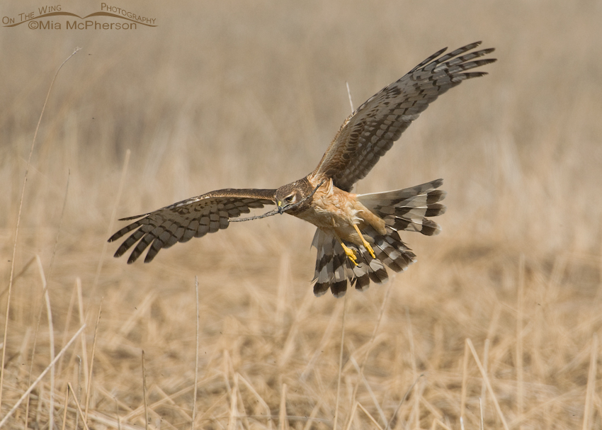 Northern Harrier bringing nesting material to the nest