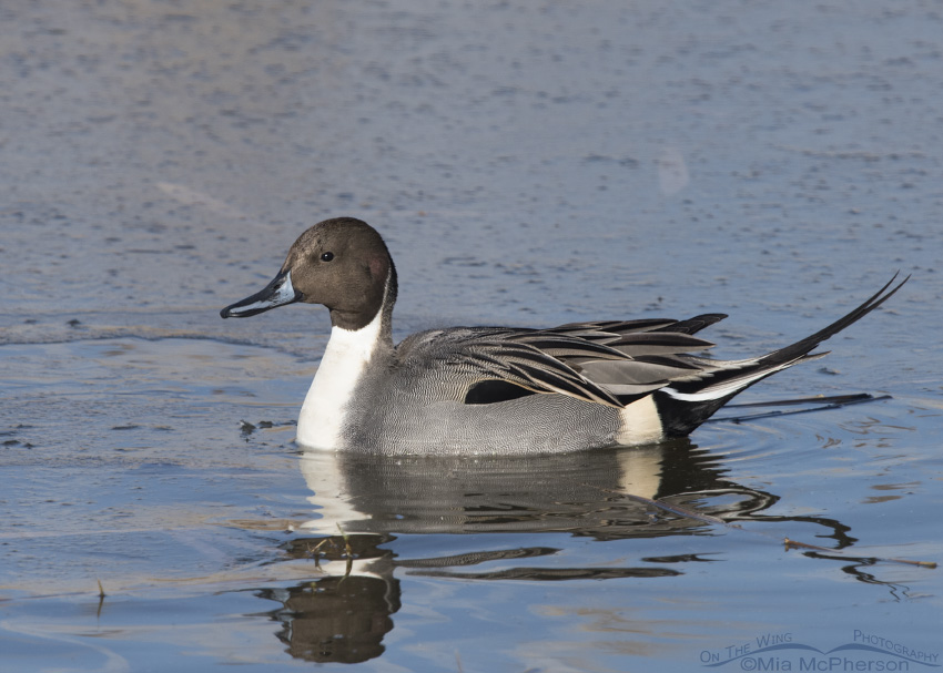 A drake Northern Pintail in breeding plumage