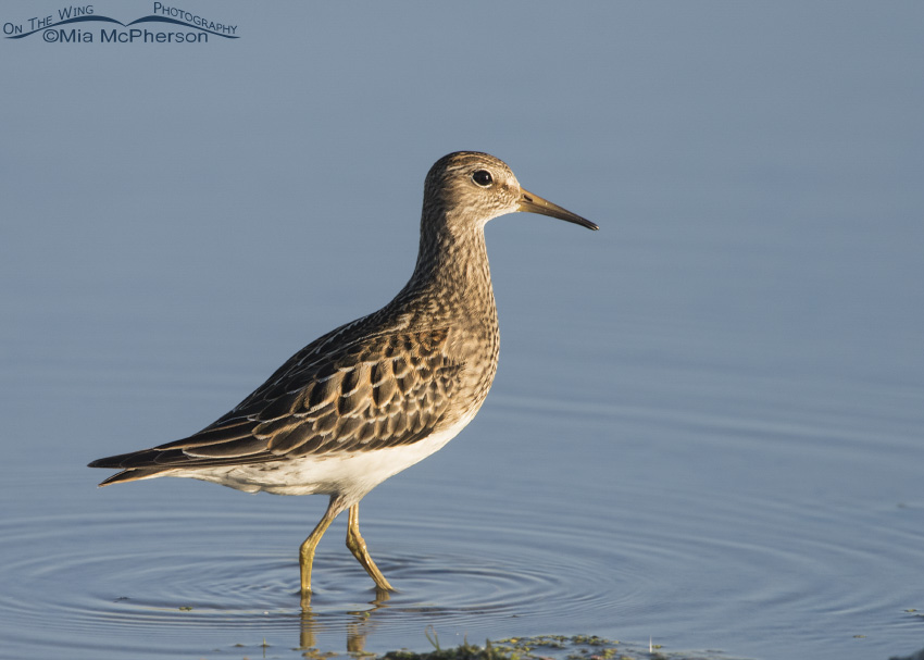 Pectoral Sandpiper in morning light