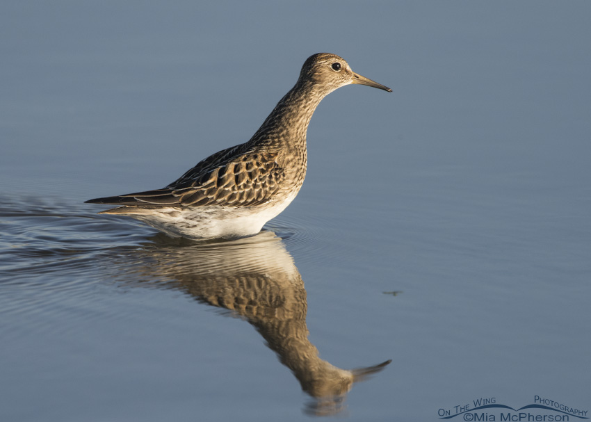 Pectoral Sandpiper at Farmington Bay WMA