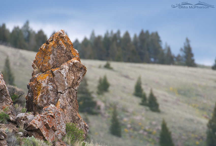 Lichen covered rock in the Centennial Valley