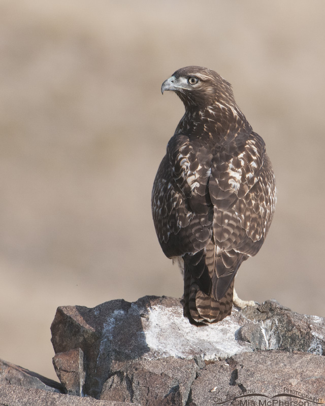 Juvenile Red-tailed Perched on an outcropping of rocks