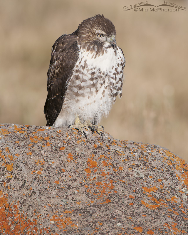 A juvenile Red-tailed Hawk perched on a boulder with red lichen