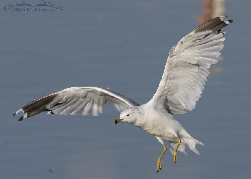 A Ring-billed Gull landing at Bear River Migratory Bird Refuge