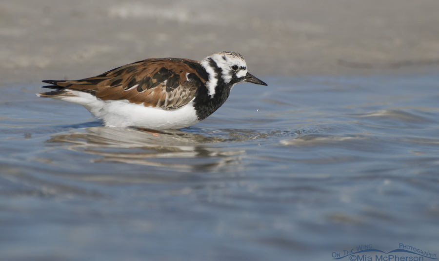 A bathing Ruddy Turnstone