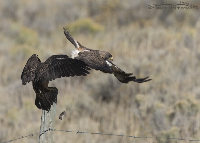A missed prey hand off from the adult to the juvenile Swainson's Hawk