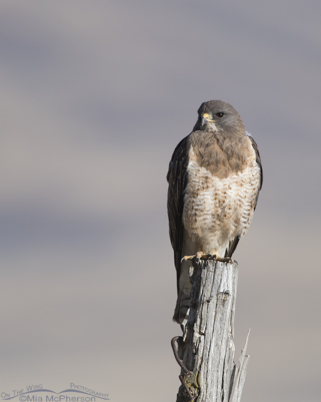 Adult Swainson's Hawk on a gnarly old fence post