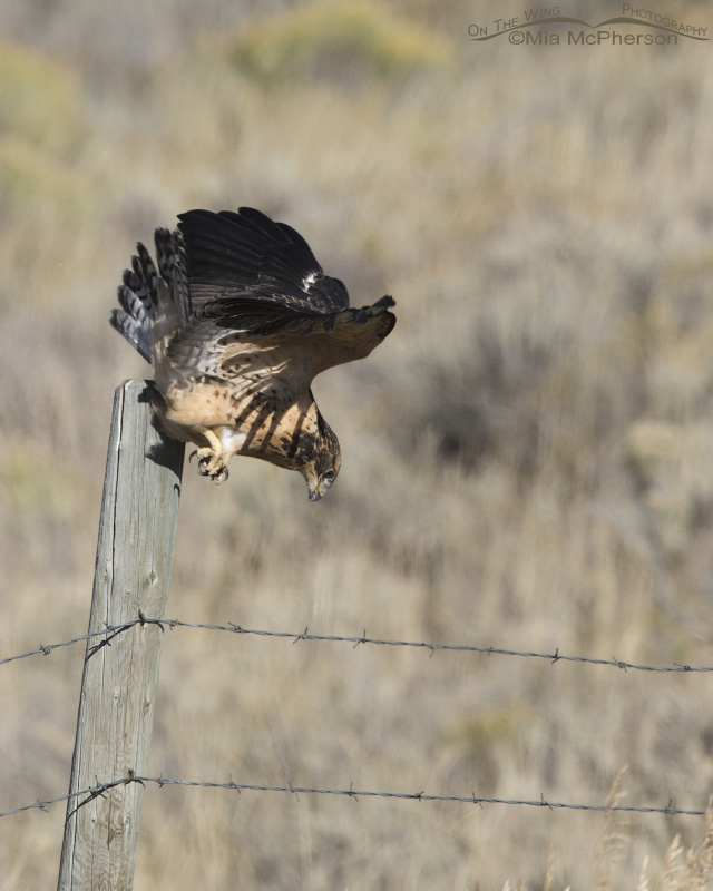 A juvenile Swainson's Hawk diving after the missed prey hand off