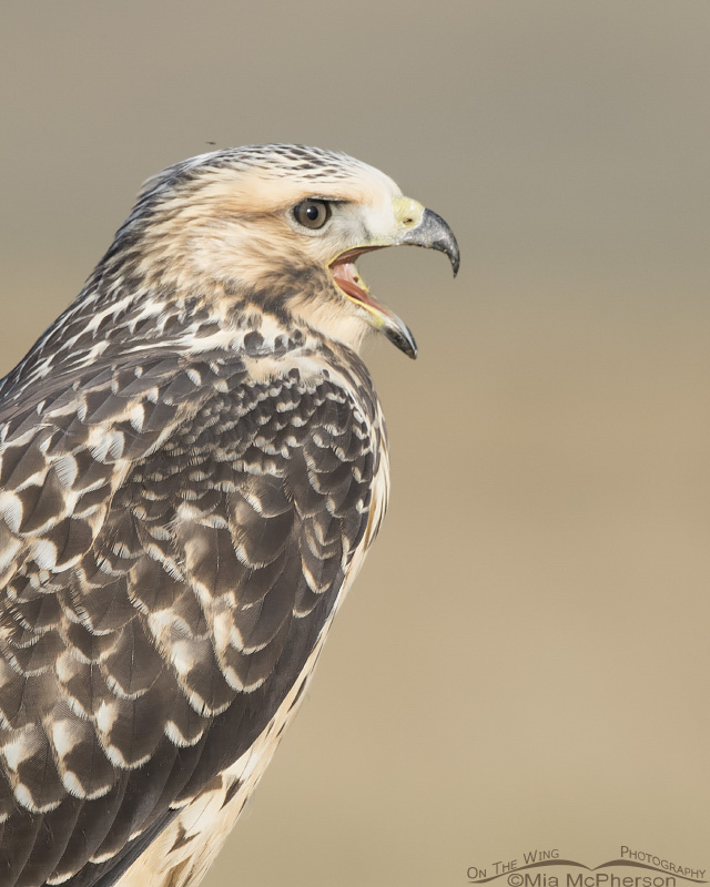 A juvenile Swainson's Hawk calling out to be fed