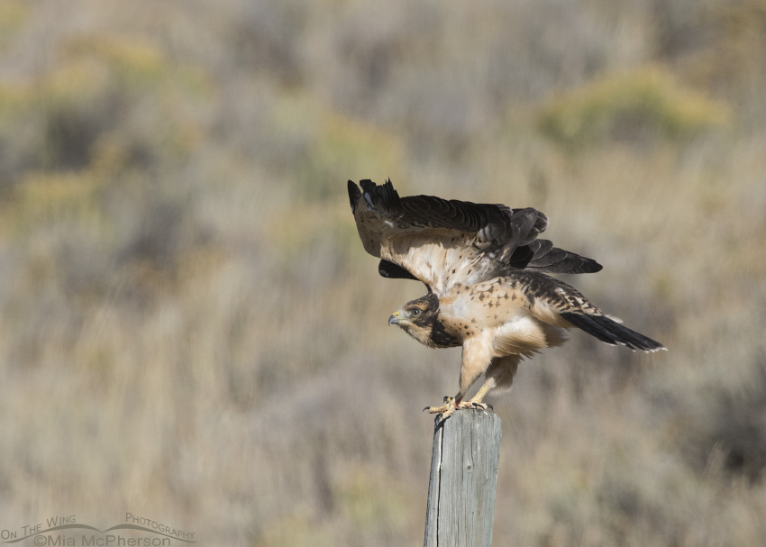 A juvenile Swainson's Hawk stretching its wings