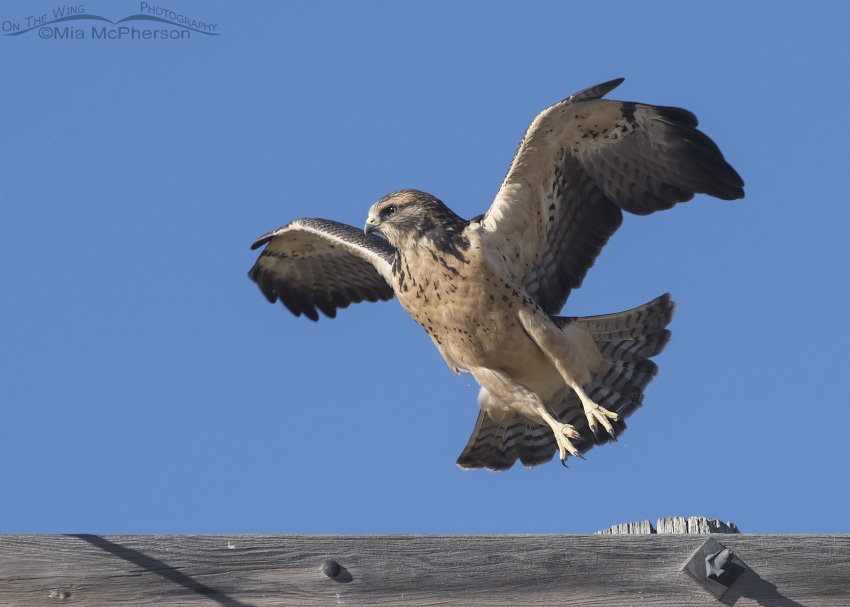 A Swainson's Hawk juvenile jumping to a new perch