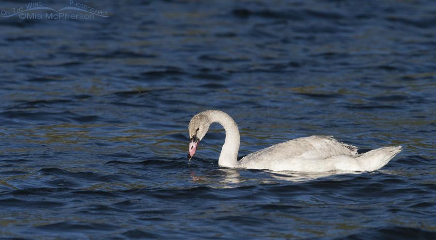 Trumpeter Swan Cygnet on Elk Lake