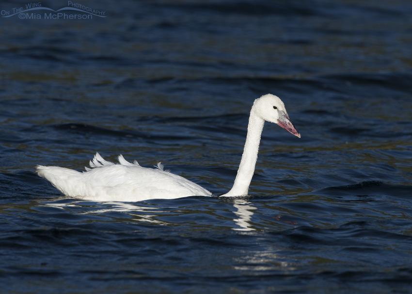 A Graceful Trumpeter Swan Cygnet