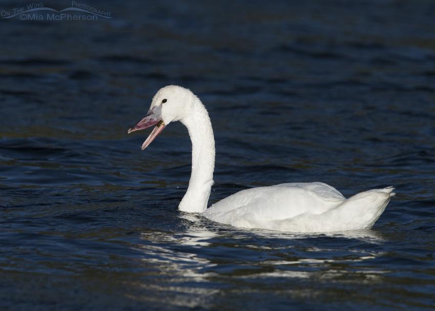 A Trumpeter Swan cygnet munching on underwater vegetation