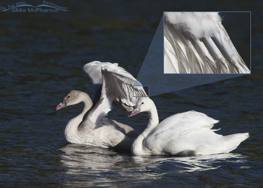 Inset showing primary pin feathers on a Trumpeter Swan Cygnet