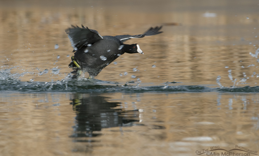 An American Coot running across the water