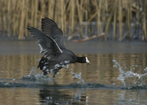 Chasing another Coot