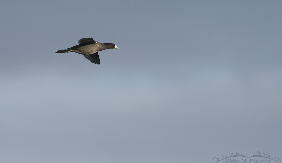 American Coot in flight with dark clouds in the background