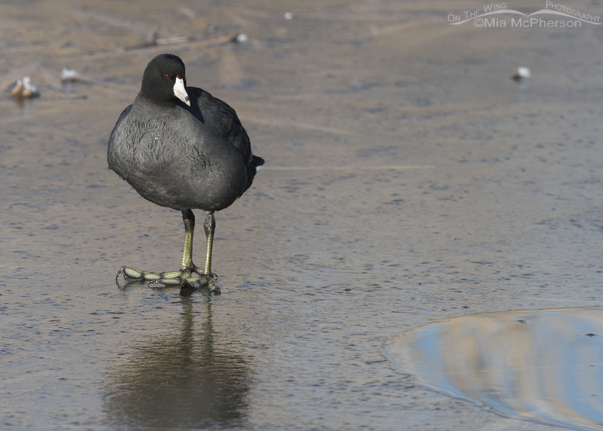 An American Coot standing on ice at Farmington Bay