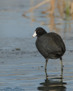 American Coot from the back