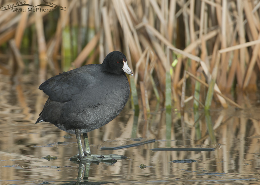 Coot standing on ice