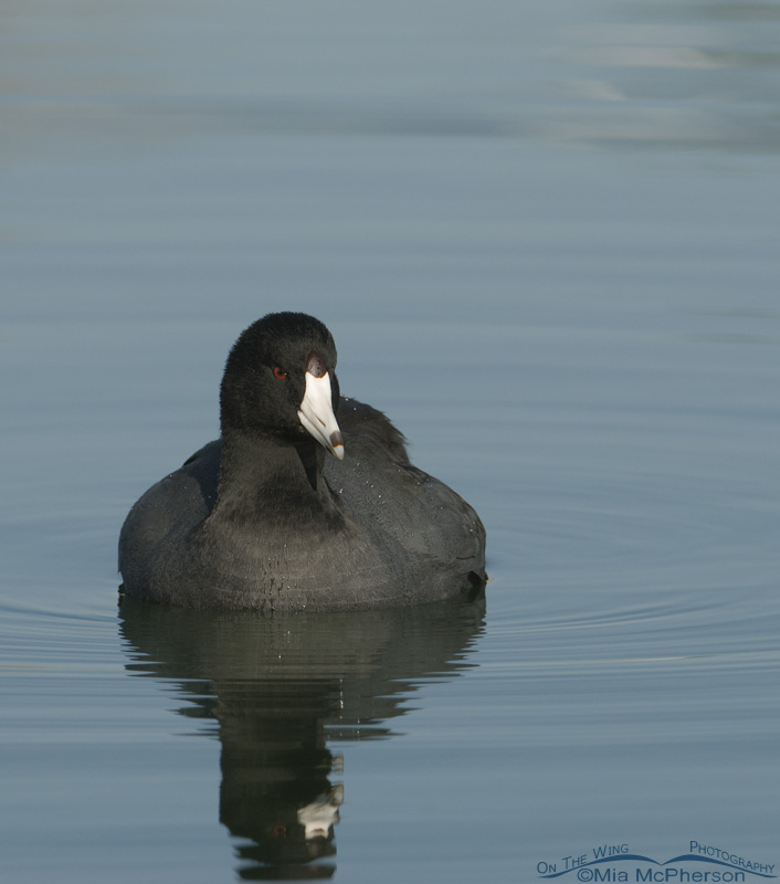 American Coot vertical close up