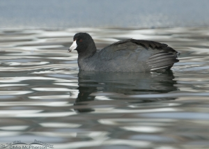 Icy water and an American Coot