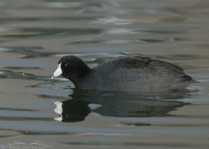 Coot trying to sneak by