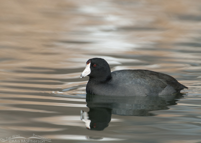American American Coot in multi-colored reflections