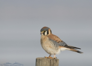 Male Kestrel on post