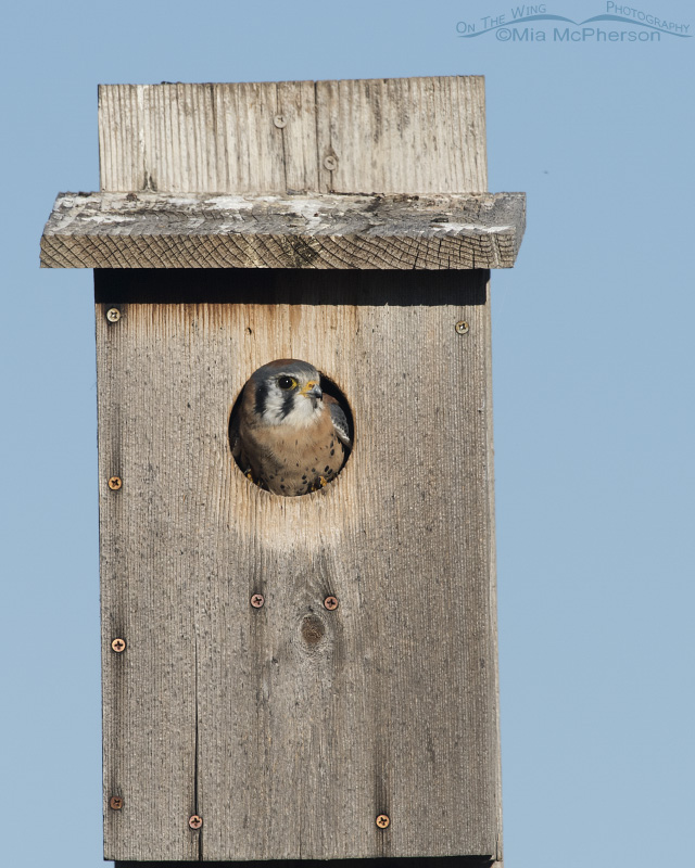Male American Kestrel inside a nest box