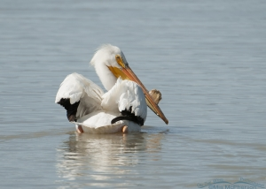 Backward glance from an American White Pelican