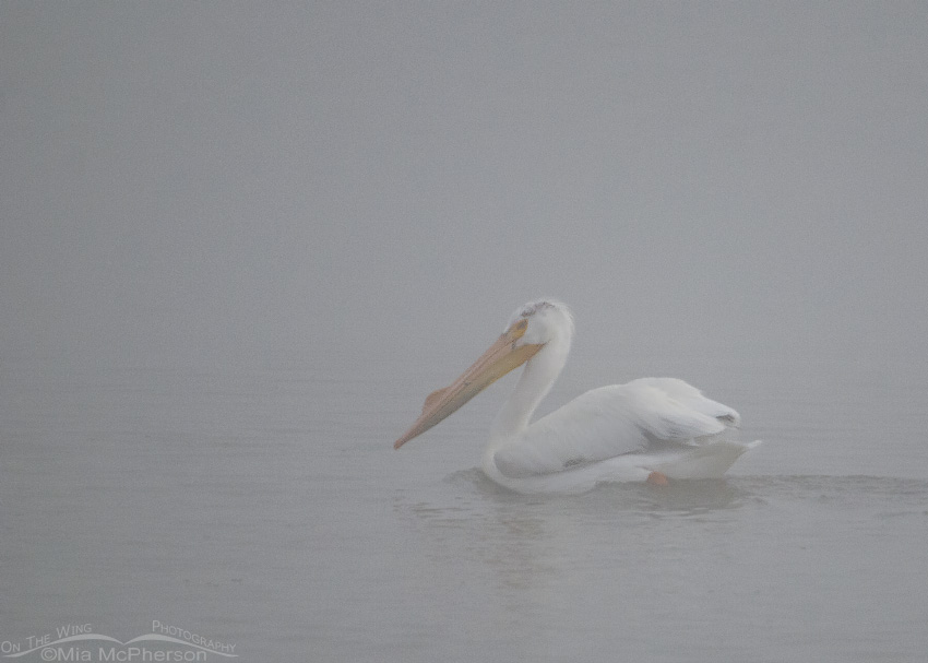 American White Pelican in a fog at Red Rock Lakes National Wildlife Refuge