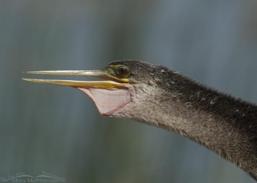 Female Anhinga with open beak