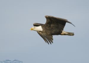 Circling Bald Eagle