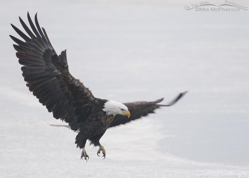Bald Eagle landing on ice in a fog