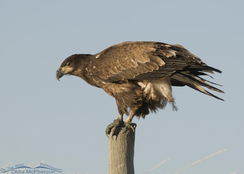 1 year old Bald Eagle