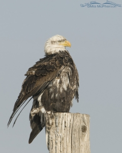 A four year old Bald Eagle rousing