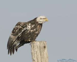 A Bald Eagle Stretching on a pole